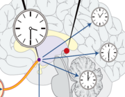 Stoornissen van het circadiane slaap-waakritme en chronotherapie