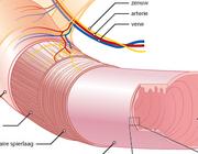 Functionele anatomie en fysiologie van het maag-darmstelsel